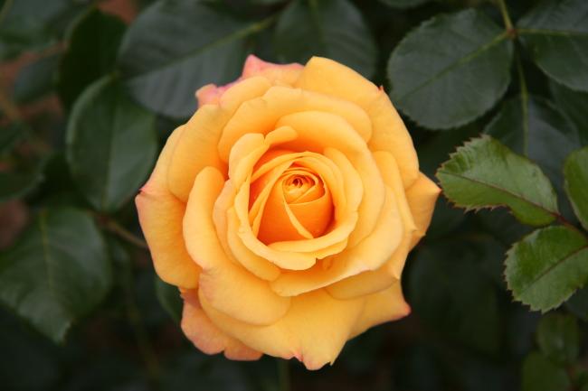 rose-pics